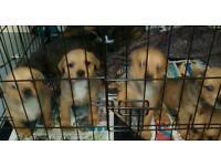Rottweiler X Staffordshire bull terrier puppies
