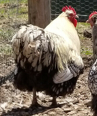 6 Lf English Silver Laced Orpington Hatching Eggs Npip Ai Clean Free Ship