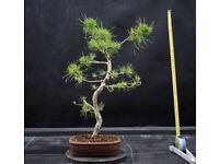 Yamadori Scots Pine Bonsai project
