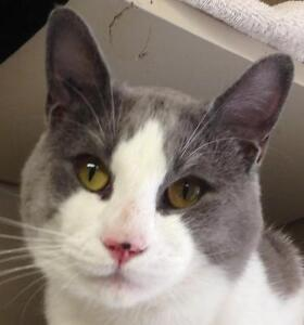 Young Male  - Domestic Short Hair (Gray & White)