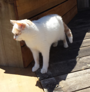 LOST CAT - WHITE/GOLD