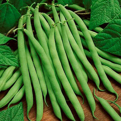 Heirloom Blue Lake 274 Green Bean 50 Seeds Non Gmo Usa   Free Gift   Comb S H