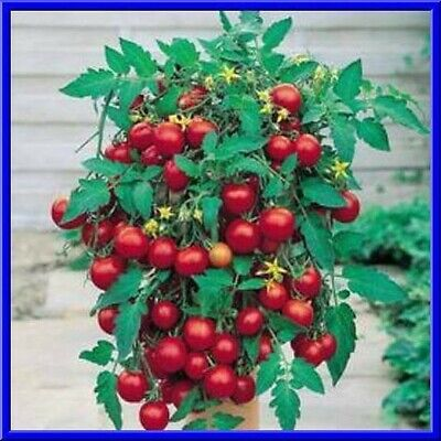 Grow Hanging Baskets - Tumbling Tom Tomato Seeds- Grow in Pots & Hanging baskets  Comb. S/H