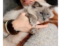 Loving Ragdoll Cat to go to a good home asap cause of move