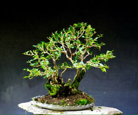Yamadori Privit Semi styled bonsai material