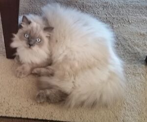Missing Cat - Himalayan Blue Point - REWARD OFFERED!!!!!