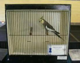 Does anyone know where I could get a cockatiel Show cage and how much it might cost?