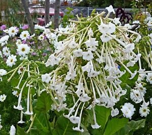 Nicotiana sylvestris - Only the Lonely Appx 1000 seeds  Annuals & Biennials