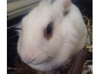 House Rabbit for sale in Winton
