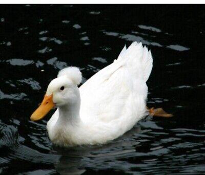 Fertilized Mostly Crested Pekin Duck Hatching Eggs 6
