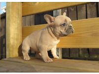 Ready to leave now French bulldog pup blue fawn girl