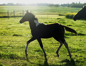 STEAL OF A DEAL Flashy Pinto Sport Horse Filly