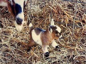 Pgymy/Miniature/Boer goat