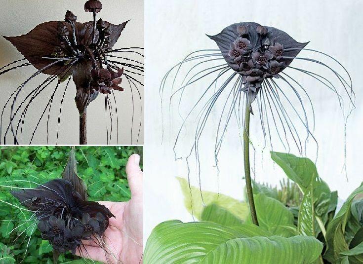 Schwarze Fledermausblume für drinnen groß bildet Ableger Zimmerpflanze Samen Set