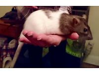 5 baby girl rats for sale
