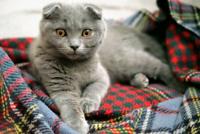 Beautiful Blue Purebred Scottish Fold Kitten - SOLD