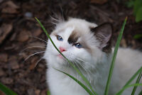 TICA Registered Seal Bicolor Spayed Ragdoll 7 month old Kitten