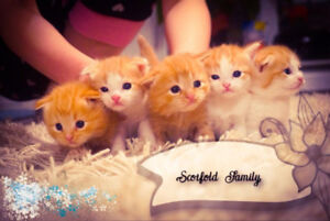 MOST ADORABLE Scottish Fold Kittens <3 Only 2 left !!!