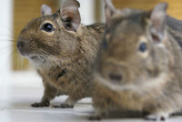Degus looking for a pet home.
