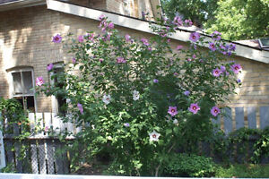 Rose of sharon, Redbud, Ginkgo trees for sale