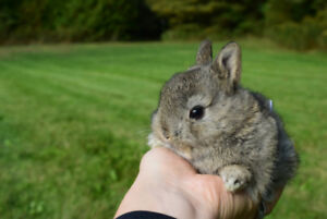 Teacup size bunnies - Netherland dwarf - Trained & great to hold