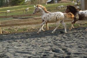 2018 leopards Appaloosa/ quarter horse