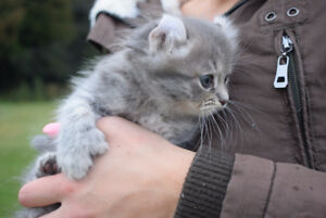 Blue Highland Lynx Kittens - Exotic Curled ears & polydactyl