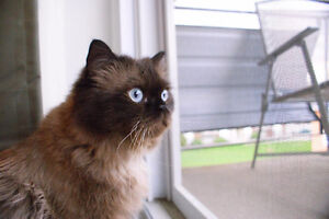 Beautiful cat looking for a home Kitchener / Waterloo Kitchener Area image 1