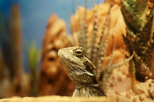 One year old bearded dragon for sale with everything needed