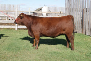 Purebred Red Angus Cows Bred Simmental
