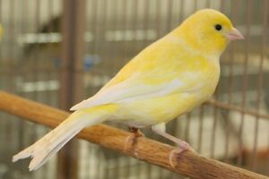 Canaries both singing males or females