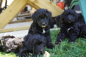 poodle crossed with bouvier lab