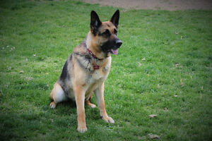 Purebred GSD to Right Home
