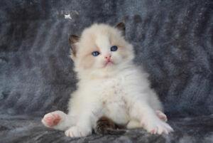 Registered Ragdoll Kittens for sale