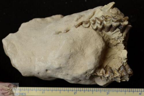 Oreodont Upper Section, Leptauchenia Fossil, Badlands, S Dakota, Oligocene O1334