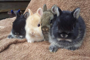 Beautiful tiny Netherland Dwarf rabbits