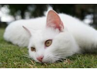 White cat found needs home