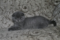 Amazing Pure breed Scottish fold and straight!!! City of Montréal Greater Montréal Preview