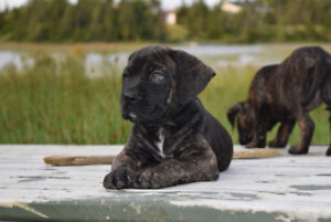 Mastiff- Boxer puppy Only 1 puppy left waiting for their forev