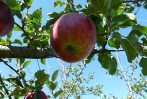 Apple Picking Ladder, 8 and or 10 ft length