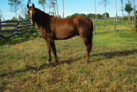 Morgan mares and geldings many to choose from! all Registered!