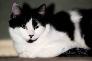 AK1357 : Quinn - CAT for ADOPTION - Vet Work Included Bassendean Bassendean Area Preview