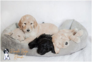 Goldendoodle Puppies - Vancouver Island