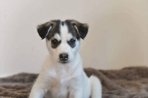 Paws for Love dog rescue has a 8 week husky  mix for adoption