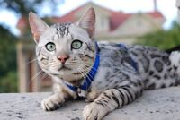 WANTED: silver Bengal female