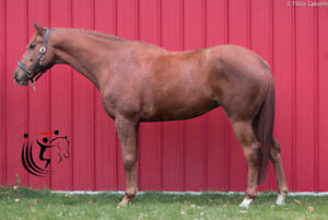Spark- Competitive Jumper Mare Available for Sale
