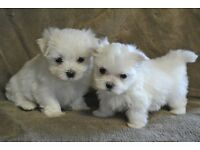 Maltese for sale! Female and male!