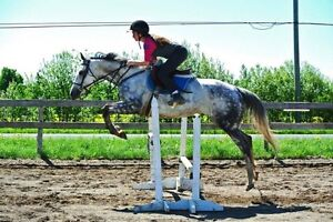 10 year old Thoroughbred for sale
