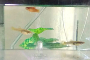 2 young-adult female fancy guppies and 1 young red platy fish