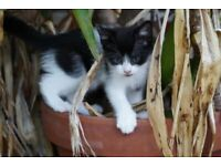 Beautiful black and white kitten looking for new home